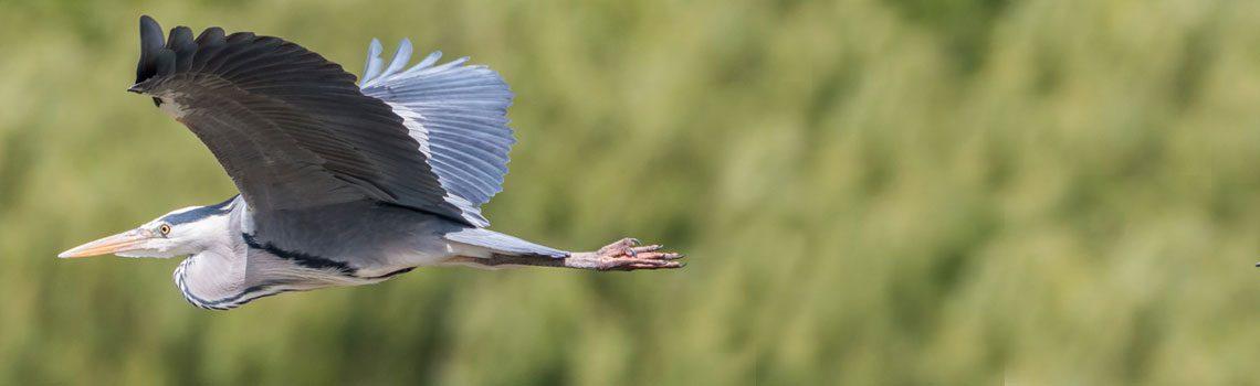 Following the Heron